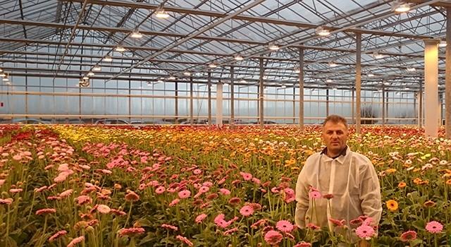 Gerbera Çiçeklerinin Hasadı ve Demetlenmesi (Harvestıng and Bunchıng of Gerbera Flowers)
