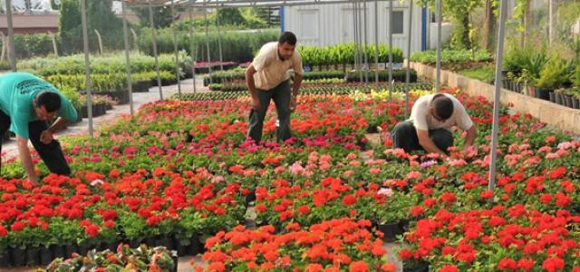Malatya: Kesme Çiçek 230 Bin Kişinin Geçim Kaynağı