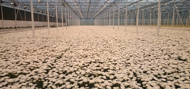Krizantem Hasadı (Harvestıng of Chrysanthemum)